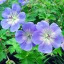dream geranium