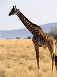 dream giraffe