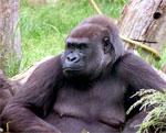dream gorilla