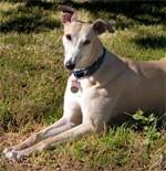 dream greyhound