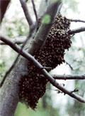 dream hive