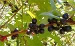 dream huckleberries