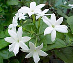 dream jasmine
