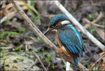 dream kingfisher