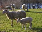 Lamb drem interpretation