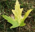 dream leaf
