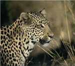 dream leopard