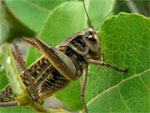 Locust drem interpretation