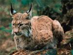 dream lynx