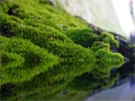 dream moss