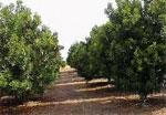 dream nut trees