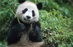 dream panda