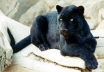 dream panther