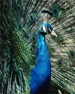 Peacock drem interpretation
