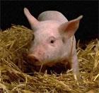 dream pig