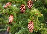 dream pine cones