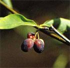dream plum