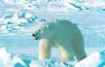 dream polar bear