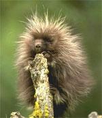 dream porcupine