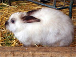 dream rabbit