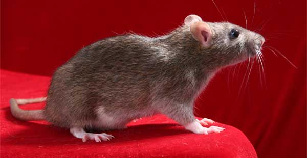 Rat(s) drem interpretation