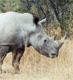 dream rhinoceros