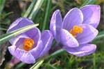 dream saffron