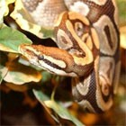 dream serpent
