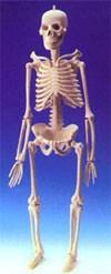dream skeleton