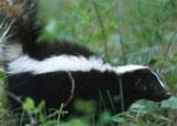 dream skunk