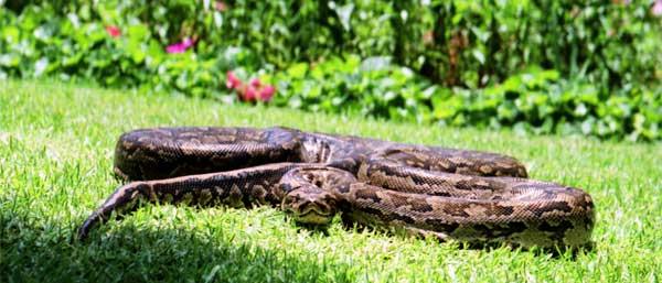 Snake(s) drem interpretation
