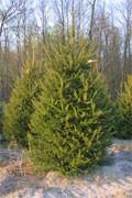 dream spruce