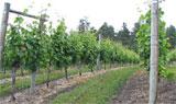dream vineyard
