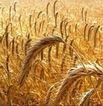 dream wheat