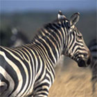 dream zebra