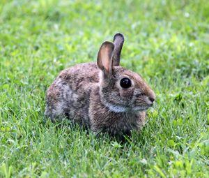 A dream about a rabbit drem interpretation