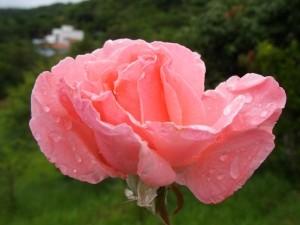 A dream about a rose drem interpretation
